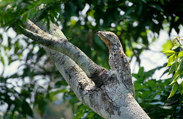Great potoo (Nyctibius grandis) camouflaged on tree, day time roost, defense posture, Amazonia, Brazil  -  Nick Gordon/ npl