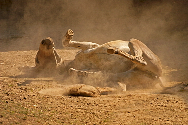Somali Wild Ass (Equus africanus somaliensis) rolling in loose dirt and kicking up dust St Louis Zoo Captive  -  Charlie Summers/ npl