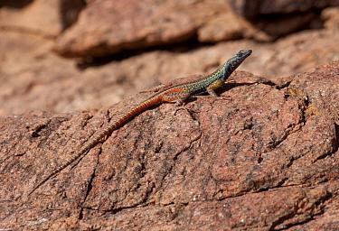 Broadley's flat Lizard (Platysaurus broadleyi) resting on rock, Augrabies National Park, South Africa  -  Charlie Summers/ npl