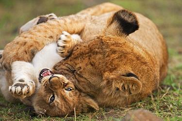 Lion cub (Panthera leo), aged 7 months, bullying a younger cub aged 2-3 months Masai Mara National Reserve, Kenya, September 2009  -  Anup Shah/ npl