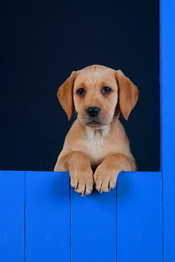Yellow Labrador retriever puppy looking out from blue kennel, UK  -  Ernie Janes/ npl