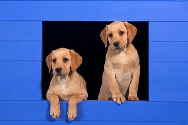 Two Yellow Labrador retriever puppies looking out from blue kennel, UK  -  Ernie Janes/ npl