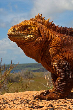 Land iguana (Conolophus subcristatus) Baltra Island, Galapagos Islands  -  Pete Oxford/ npl