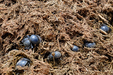 Addo flightless dung beetles (Circellium bacchus) in elephant dung, Addo Elephant NP, Eastern Cape, South Africa, November  -  Tony Phelps/ npl