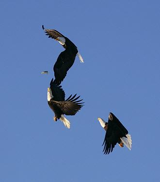Three American bald eagles (Haliaeetus leucocephalus) in flight, fighting over fish, Homer, Alaska, January  -  Barry Bland/ npl