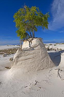 Rio Grande Cottonwood tree (Populus fremonti wislizenii) on a sand pedestal White Sands National Monument New-Mexico, USA, August 2009  -  Daniel Heuclin/ npl