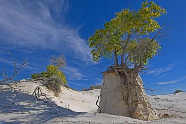 Rio Grande Cottonwood tree (Populus fremonti wislizenii) on a sand pedestal White Sands Natinal Monument New-Mexico, USA, August 2009  -  Daniel Heuclin/ npl