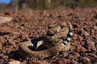 Western diamondback rattlesnake (Crotalus atrox) coiled on itself, flicking tongue, Organ pipe cactus NP, Arizona, USA Controlled conditions  -  Daniel Heuclin/ npl