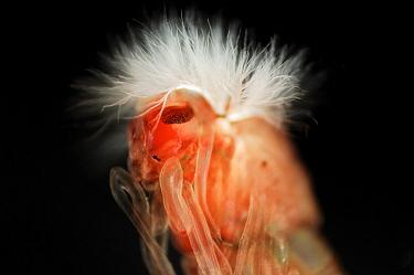 Red midge larva (Chironomus)  -  Solvin Zankl/ npl