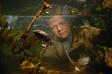Lars Hendrickson watching Black piston water beetles (Hydrophilus aterrimus) feeding on a tadpole, State Collection in Munich, Germany, June  -  Solvin Zankl/ npl