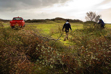 Volunteers and local council staff clearing Common sea buckthorn (Hippophae rhamnoides), which spreads rapidly and smothers sensitive dune plant communities, Newton Burrows (a provisional LNR and part...  -  Toby Roxburgh/ npl