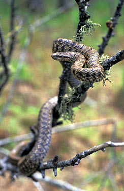 Steppes rat snake (Elaphe dione) amongst tree branches, The Bikin River, Northern Ussuriland, Far East Russia, spring  -  Konstantin Mikhailov/ npl