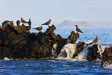 Lava gulls (Leucophaeus fuliginosus) perched on rocks in the sea Galapagos Islands, Jan 2009  -  Juan Carlos Munoz/ npl