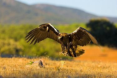 Spanish imperial eagle (Aquila adalberti) stooping to catch a lizard Sierra de Andujar Natural Park, Jaen, Andalusia, Spain, Captive  -  Juan Carlos Munoz/ npl