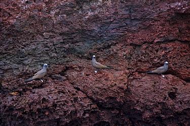 Lava gulls (Leucophaeus fuliginosus) perched on a rock face Galapagos Islands, Jan 2009  -  Juan Carlos Munoz/ npl