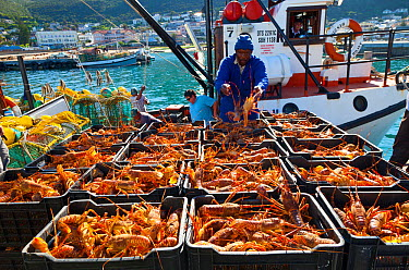 Catch of lobsters being unloaded in the fishing village of Kalk Bay, False Bay, South Africa  -  Juan Carlos Munoz/ npl
