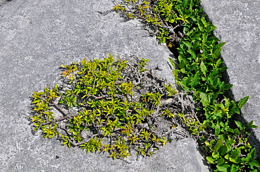 Blackthorn (Prunus spinosa) growing from gryke in limestone pavement The Burren, County Clare, Ireland, June  -  Adrian Davies/ npl