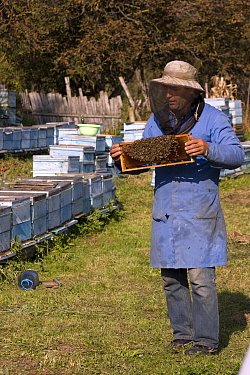 Beekeeper in practical clothing holding a comb of bees (Apis mellifera) Part of a traditional peasant economy and a low key, sustainable way to maintain high quality landscape and wildlife Romania, Oc...  -  David Woodfall/ npl