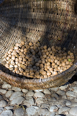 Basket of walnuts (Jugulans regia) collected in traditional peasant community, grown as cash crop Romania, October 2010  -  David Woodfall/ npl