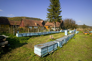 Bee (Apis mellifera) hives in community, part of a peasant economy Romania, October 2010  -  David Woodfall/ npl
