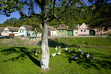 Grazing geese (Anser anser domesticus) on village green in traditional peasant village economy Romania, October 2010  -  David Woodfall/ npl
