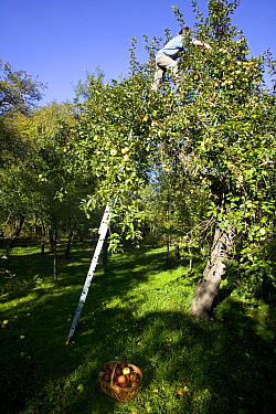 Traditional peasant agriculture, man up a ladder picking apples (Malus domestica) in an orchard on a smallholding Romania, October 2010  -  David Woodfall/ npl
