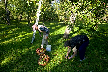 Traditional peasant agriculture, man with baskets of harvested apples (Malus domestica) in an orchard on a smallholding Romania, October 2010  -  David Woodfall/ npl