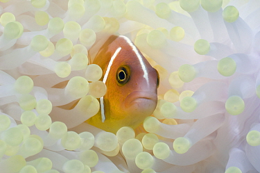 Pink anemonefish (Amphiprion perideraion) with anemone showing the effects of bleaching The bleached anemone is almost white, whereas the unbleached anemone is brown due to the presence of symbiotic p...  -  Georgette Douwma/ npl
