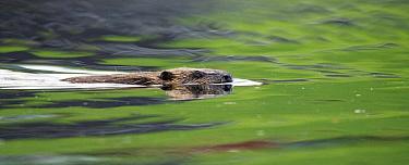 Eurasian beaver (Castor fiber) swimming, Telemark, Norway, July  -  Orsolya Haarberg/ npl