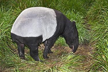 Female Malayan tapir (Tapirus indicus) grazing, from South East Asia, Endangered  -  Rod Williams/ npl