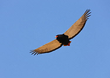 Bateleur Eagle [Terathopius ecaudatus] female in flight, soaring, Etosha National Park, Namibia, August  -  Tony Heald/ npl