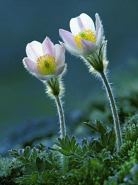 Pale pasque-flower (Pulsatilla vernalis) Jotunheimen National Park, Oppland, Norway  -  Orsolya Haarberg/ npl