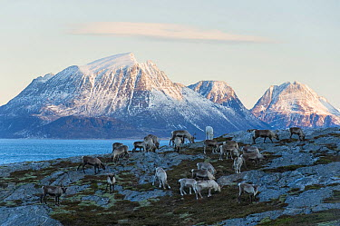Domestic reindeer (Rangifer tarandus) on winter grazing land at the coast, grazing on algae and sea vegetation, Tomma with the island of Aldra in the background, Helgeland, Nordland, Norway, January 2...  -  Orsolya Haarberg/ npl