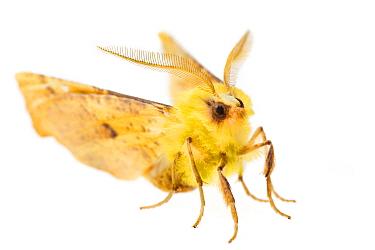 Canary-shouldered thorn moth (Ennomos alniaria)  -  Alex Hyde/ npl