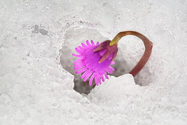 Dwarf snowbell (Soldanella pusilla) flower in snow The plant generates heat by fermenting sugars to melt the surrounding snow Austrian Alps, 2300 metres above sea level, June  -  Alex Hyde/ npl