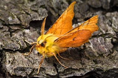 Canary-shouldered thorn moth (Ennomos alniaria) on bark Peak District National Park, Derbyshire, UK, September  -  Alex Hyde/ npl