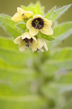 Henbane (Hyoscyamus niger) flowers, Berlin, Germany  -  Florian Mollers/ npl