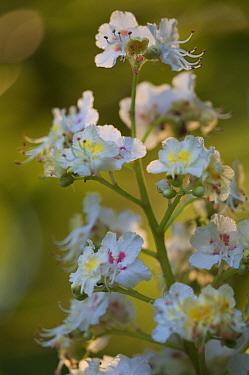 Horse chestnut tree (Aesculus hippocastanum) flowers, Grunewald, Berlin, Germany, April  -  Florian Mollers/ npl