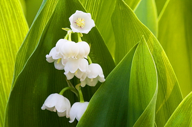 Lily of the Valley (Convallaria majalis) flowers, Grunewald forest, Berlin, Germany, April  -  Florian Mollers/ npl