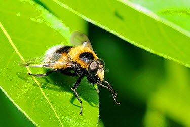 Hoverfly (Volucella bombylans var plumata) mimicking a White-tailed bumblebee, grooming its front legs while standing on a leaf This hoverfly is a parasite of bumblebee and wasp nests Wiltshire garden...  -  Nick Upton/ npl
