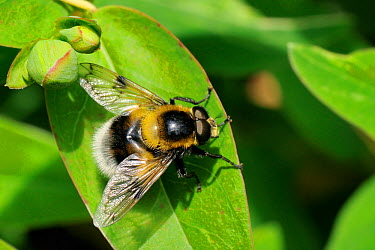 Hoverfly (Volucella bombylans var plumata) mimicking a White-tailed bumblebee, standing on a leaf This hoverfly is a parasite of bumblebee and wasp nests Wiltshire garden, UK, June  -  Nick Upton/ npl