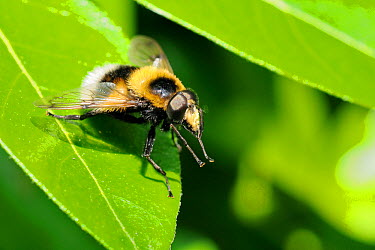 Hoverfly (Volucella bombylans var plumata) mimicking a White-tailed bumblebee, standing on a leaf with front feet rasied This hoverfly is a parasite of bumblebee and wasp nests Wiltshire garden, UK, J...  -  Nick Upton/ npl