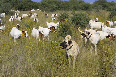 Herd of goats protected from cheetah attack by goat herder with Anatolian Shepherd Dogs, Cheetah Conservation Fund, Namibia  -  Suzi Eszterhas/ npl