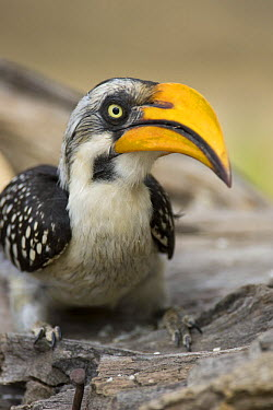 Yellow-billed hornbill (Tockus flavirostris) Sarara Camp, Namunyak Conservancy, Northern Rangelands, Kenya  -  Suzi Eszterhas/ npl