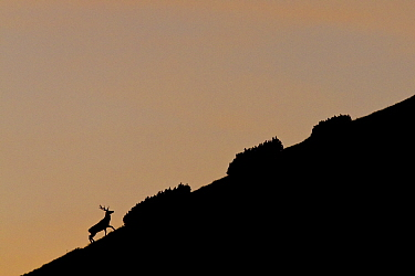 Red Deer (Cervus elaphus) stag and Dwarf Pine (Pinus mugo) silhouetted at dusk on mountain slope Western Tatras, Slovakia, September  -  Bruno D'amicis/ npl