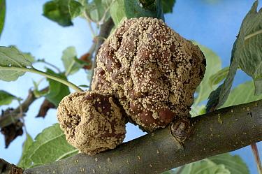 An apple infected with Fruit rot (Monilinia fructigena) Germany  -  Eric Baccega/ npl