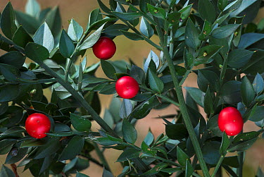 Butcher's Broom (Ruscus aculeatus) berries and leaves The New Forest, UK, October  -  Colin Varndell/ npl