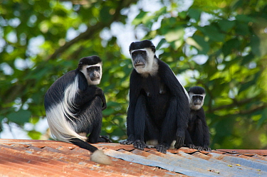 Three Black and white colobus monkeys, Guerezas (Colobus guereza) on the roof of a house of the abandoned Budongo Sawmill Budongo Forest Reserve, Masindi, Uganda, Africa, Decmember  -  Florian Mollers/ npl