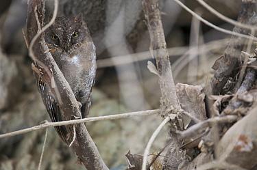 Oriental Scops owl (Otus sunia), Zhouzi Nature Reserve, Qinling mountains, Shaanxi, China April  -  Florian Mollers/ npl