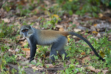 Blue monkey (Cercopithecus mitis), Jozani Chwaka Bay NP, Zanzibar, Tanzania, October  -  Bernard Castelein/ npl